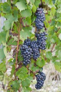 grappe raisins du vin beaujolais